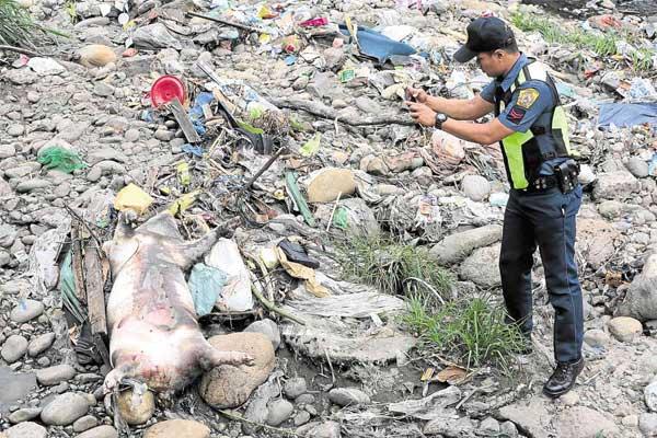 Dead pigs in Marikina River